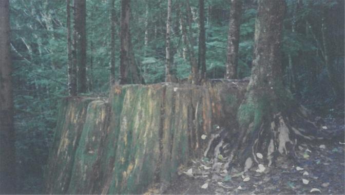 Old Stump Reborn 150